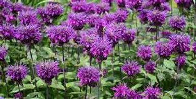 MONARDE Didyma Balmy Purple