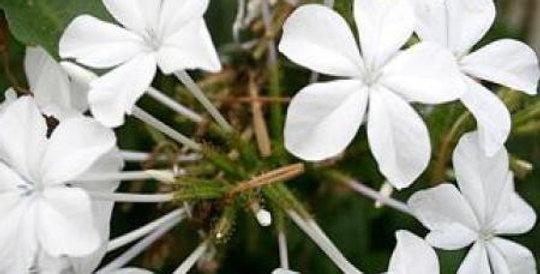 PLUMBAGO Capensis 'alba'
