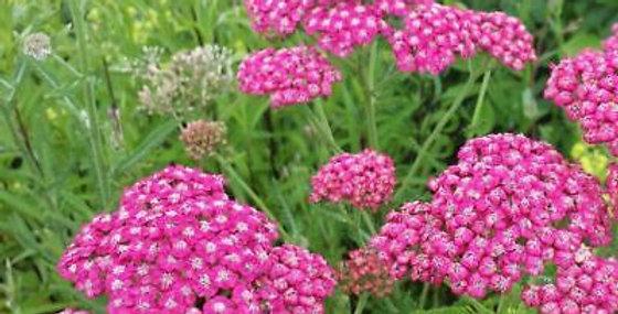 ACHILLEE Millefolium