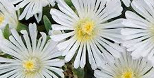 DELOSPERMA White