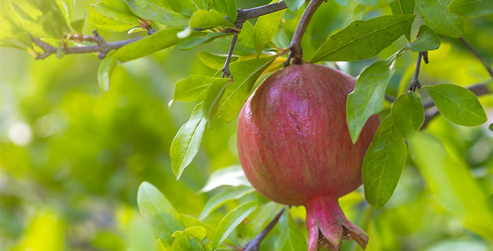 GRENADIER à Fruits