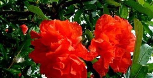 GRENADIER à Fleurs