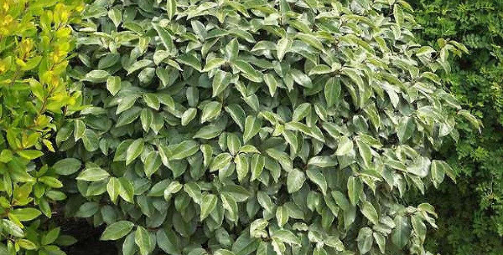 ELEAGNUS Vert