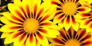 GAZANIA New Day Yellow Flame