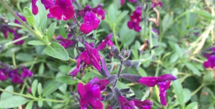 SALVIA Jamensis Violette de Loire