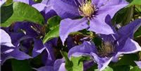 CLEMATITE Boulevard Olympia