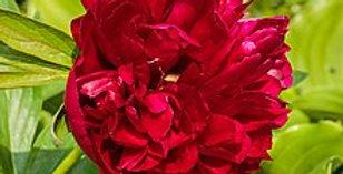 PIVOINE Double Rouge