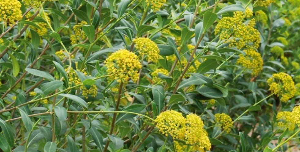 BUPLEURUM Fructicosum