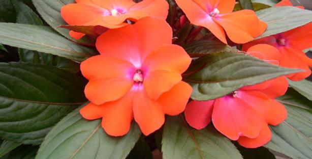 IMPATIENS Nouvelle Guinée orange