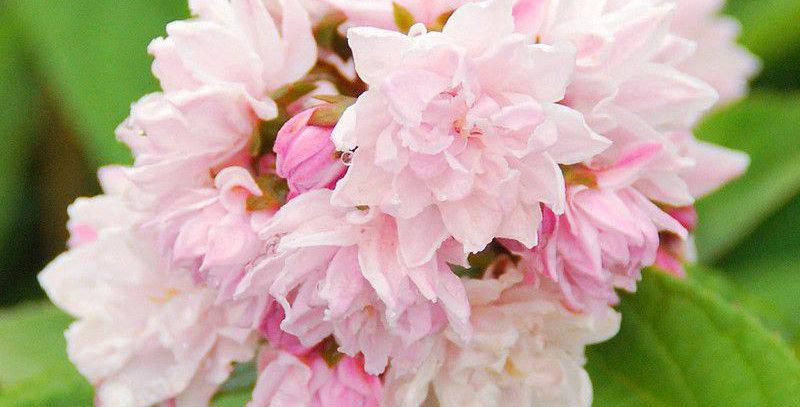 DEUTZIA Scraba Pink Pompom