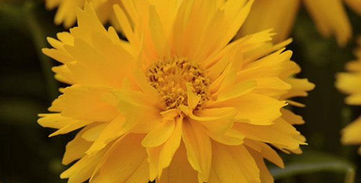 COREOPSIS Grand Dble The Sun
