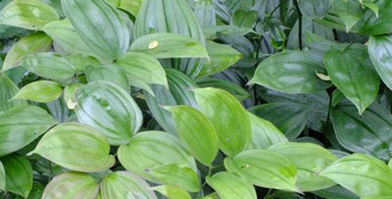 DISPORUM green