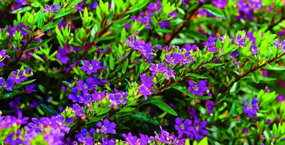 CUPHEA Hyssopifolia Purpurea