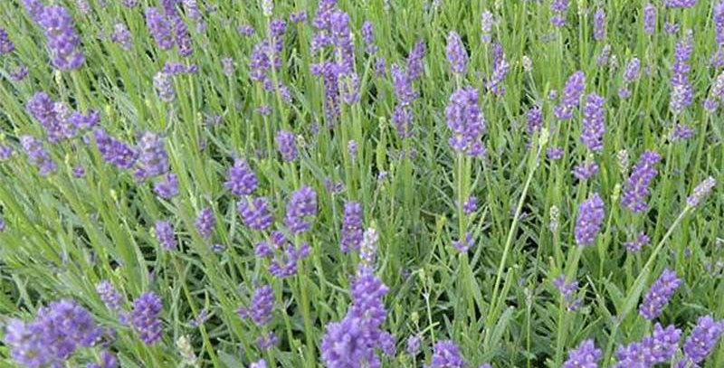 LAVANDE Angustifolia Essence Purple