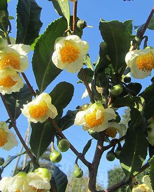 お茶の花満開.jpg