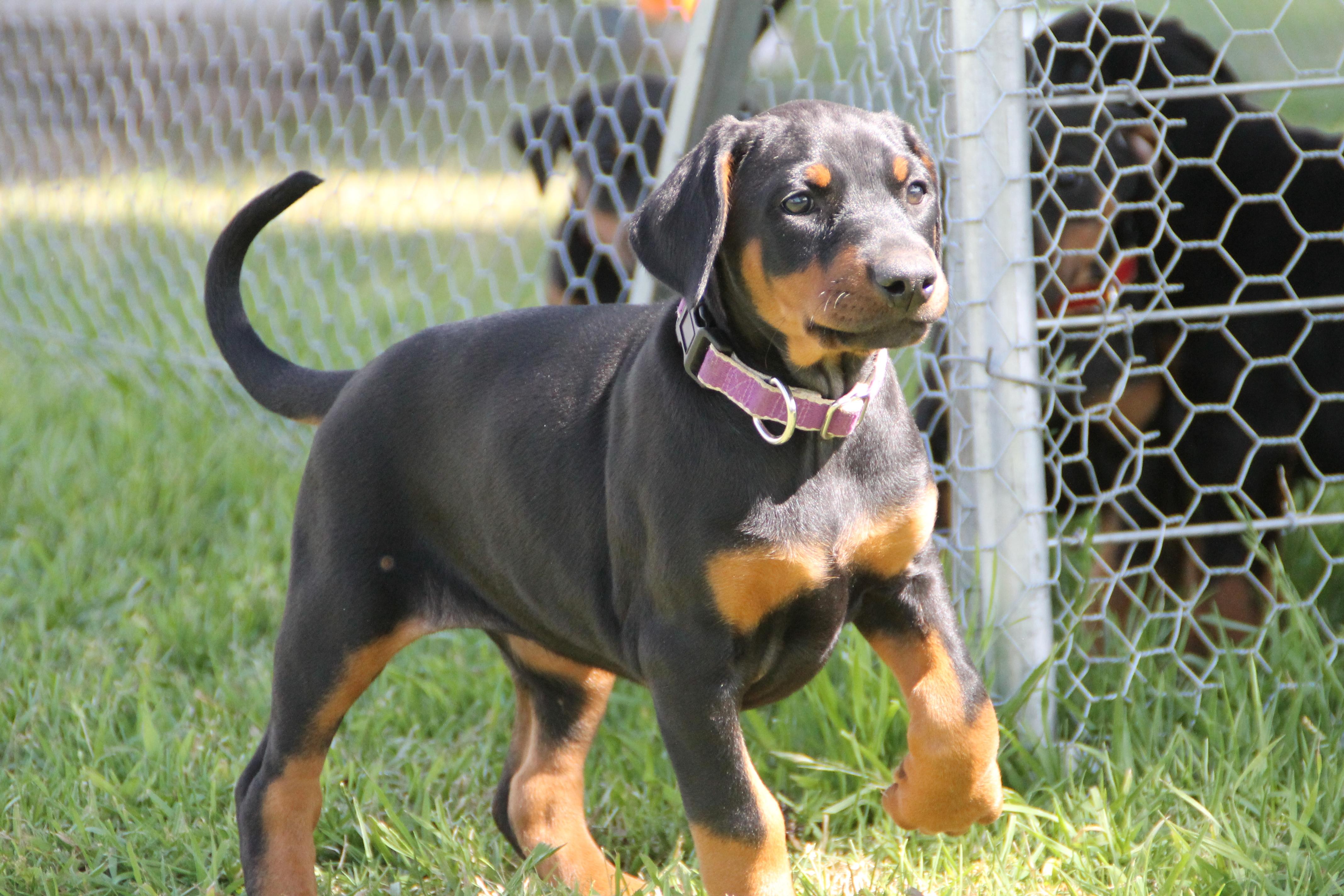 Beloran Com Doberman Pups For Sale Hunter Valley Nsw