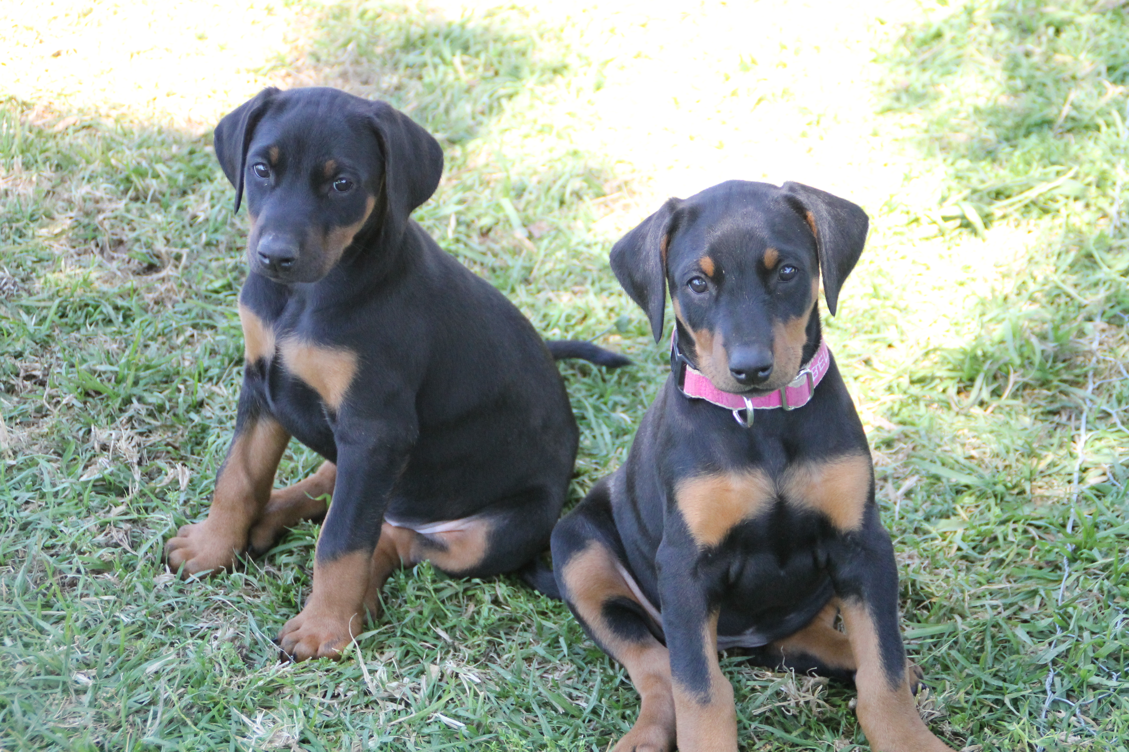 Puppies For Sale Nsw