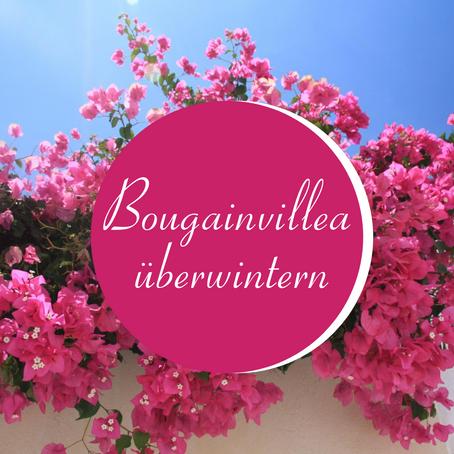 Bougainvillea überwintern