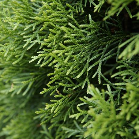 Thuja Smaragd - Pflanzen, düngen & schneiden