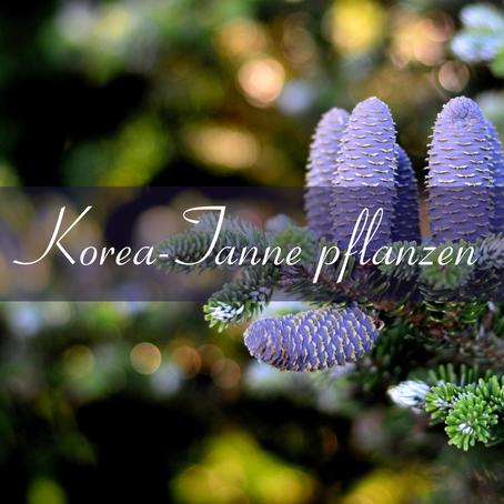 Korea-Tanne pflanzen