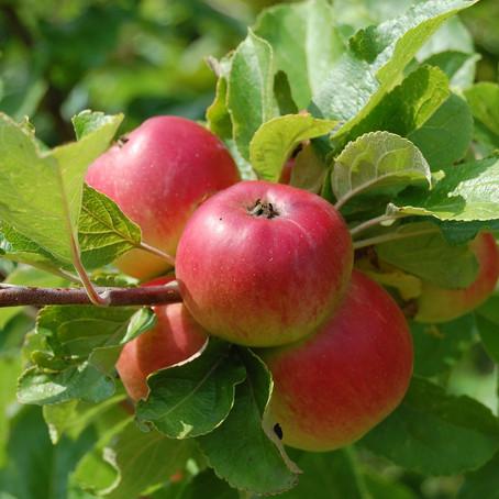 Obstbäume stützen