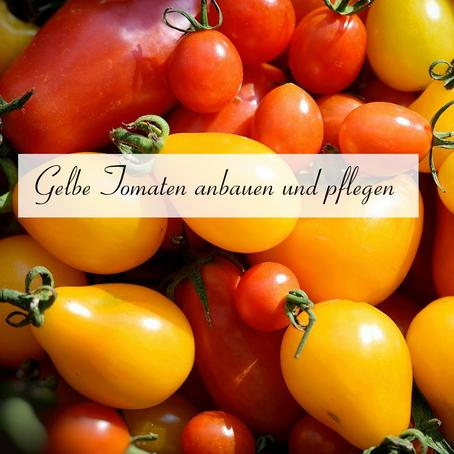 Gelbe Tomaten anbauen und pflegen