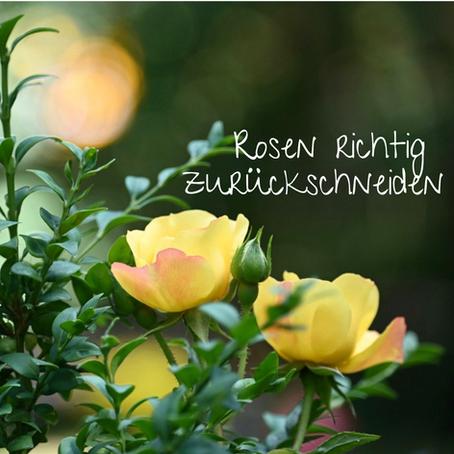Rosen richtig zurückschneiden