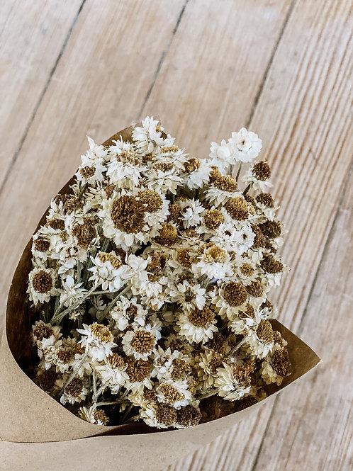 Dried Ammobium Flower