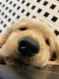 Firefly Litter Pup