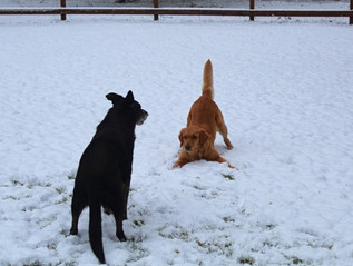 Bella & Shadow playing in the snow