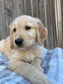 Firefly Litter Puppy