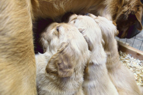 Pups nursing from Bella