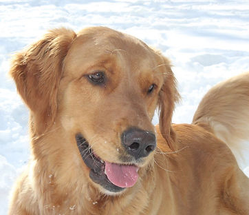 Golden Retriever, Playing, Puppy, Dog, Snow, Olympia, AKC