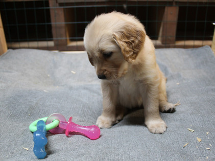 Puppy being introduced to toys