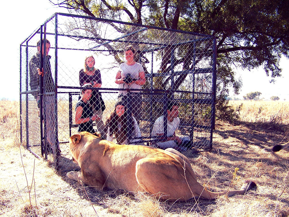 Woman in cage with volunteers with a lioness in South Africa