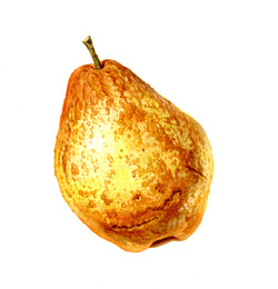 Old Pear