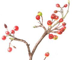 Red Chokeberry