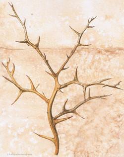 Dried Hardy Orange Twig