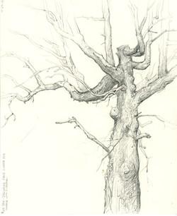 The Dead 'Mule' Oak