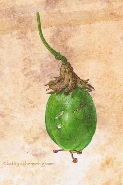 Maypop - Passion Fruit