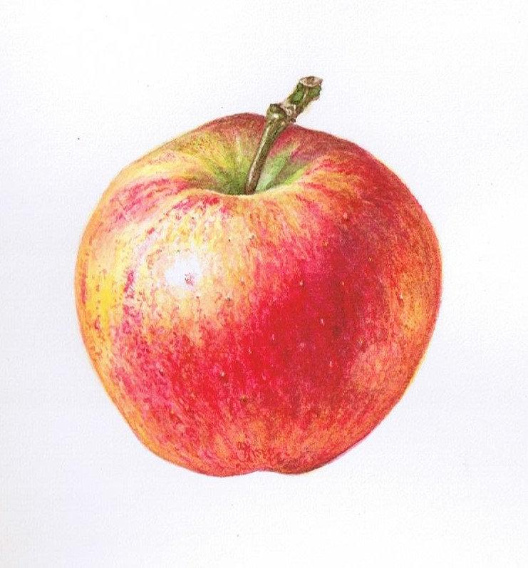 Heirloom Apples in Watercolor Workshop