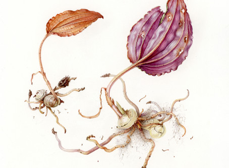 Fading Cranefly Orchid's Last Dance on view in The ASBA 23rd Annual International Exhibition