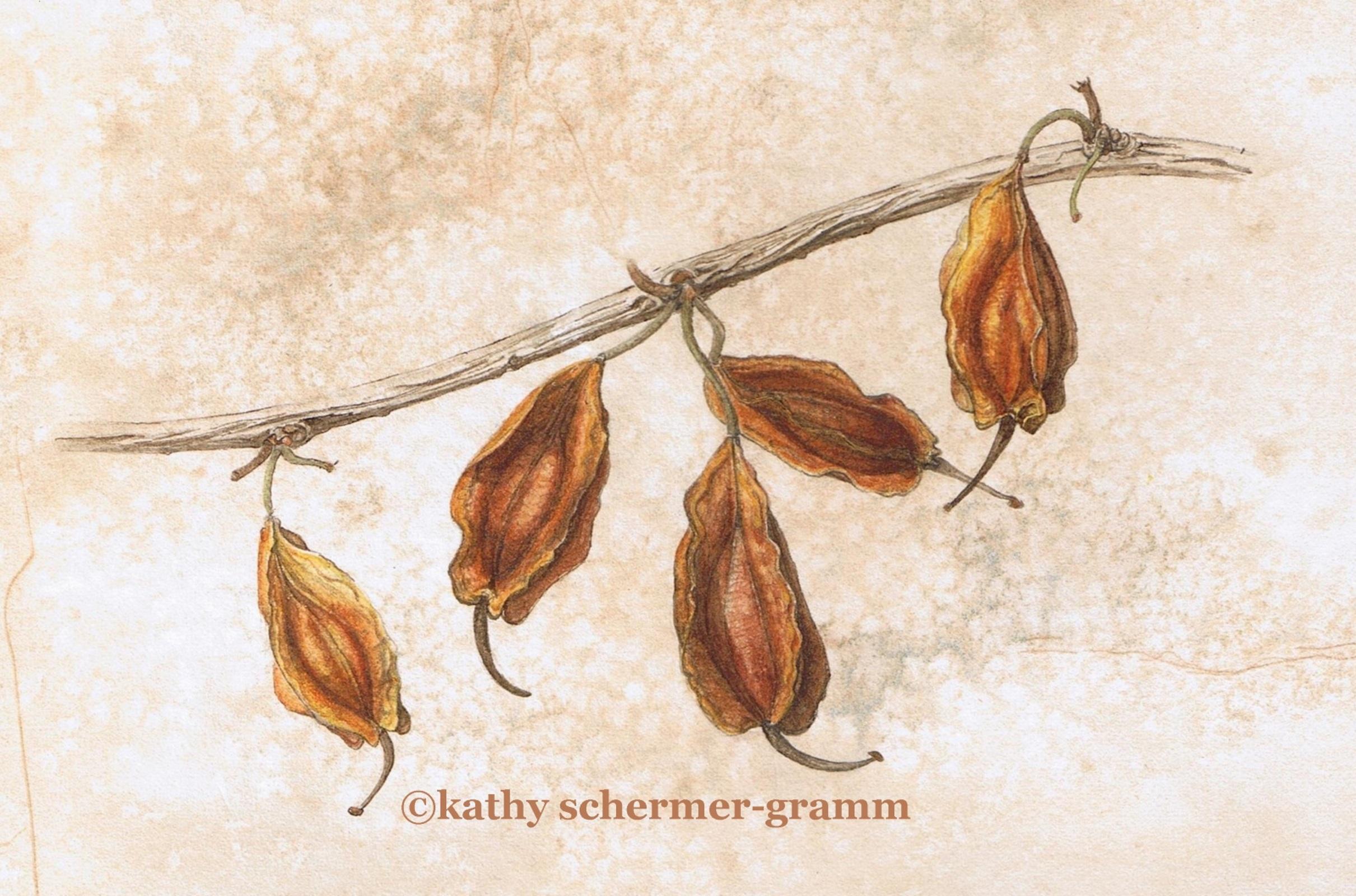 Carolina Silverbell Seedpods