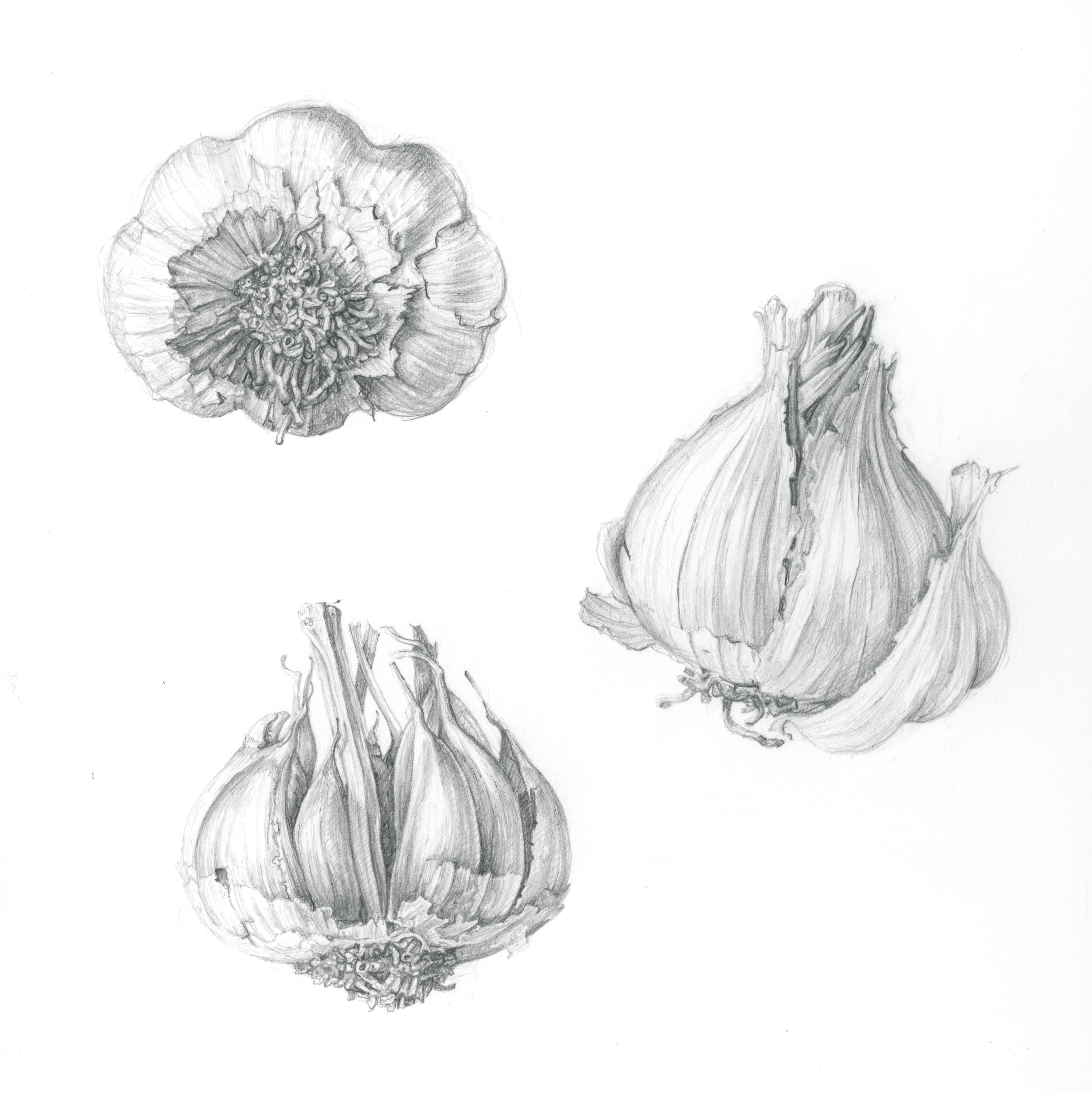 Garlic studies