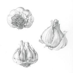 Garlic studies