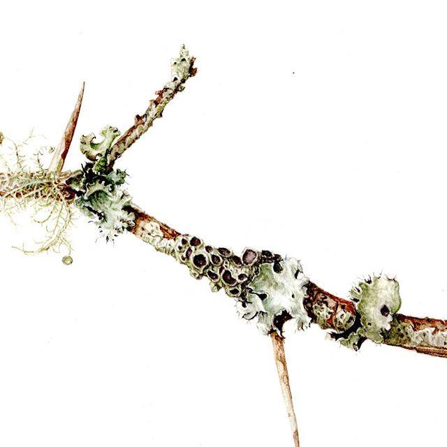 Lichen on Locust twig