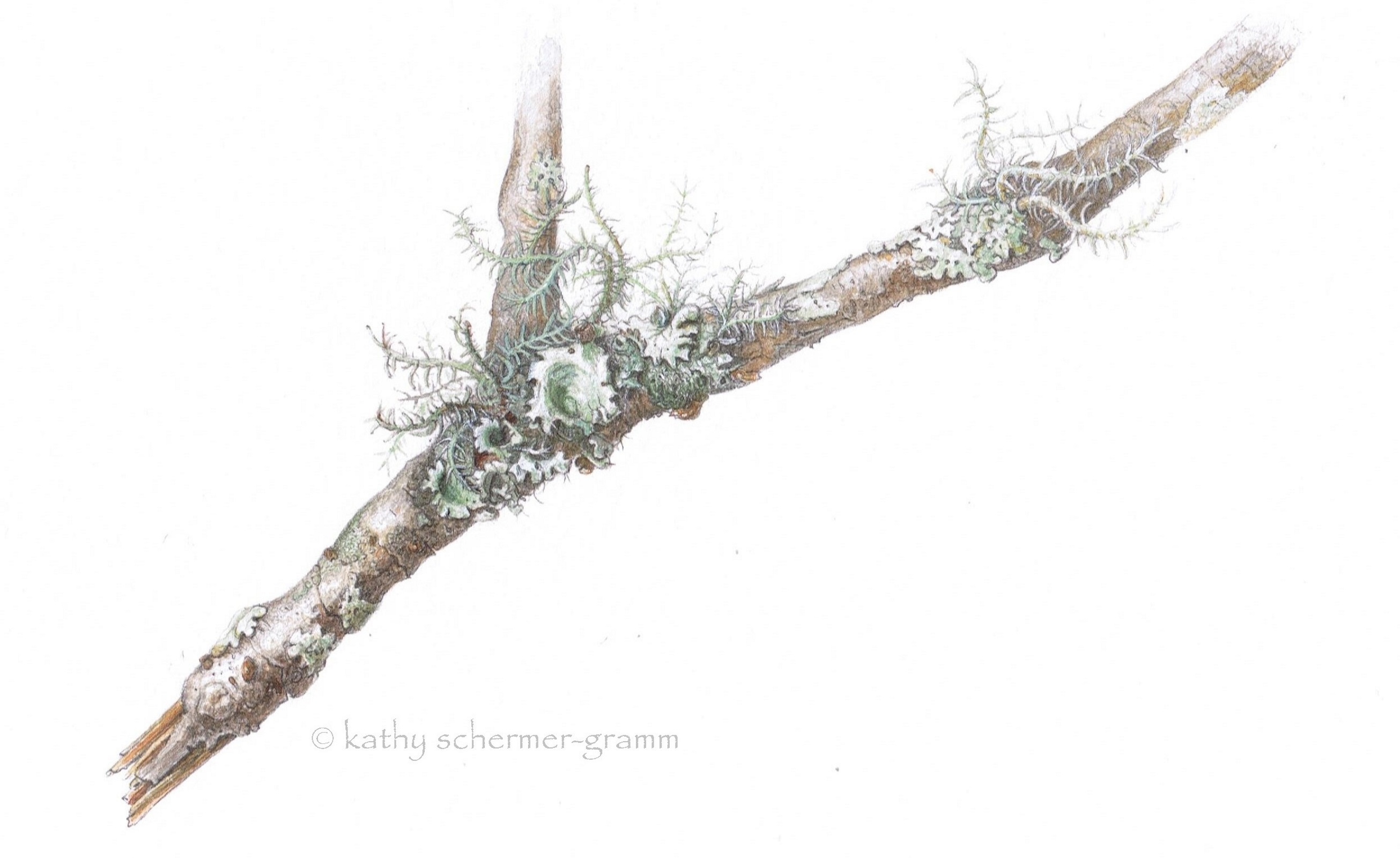 Lichen on Dogwood Twig