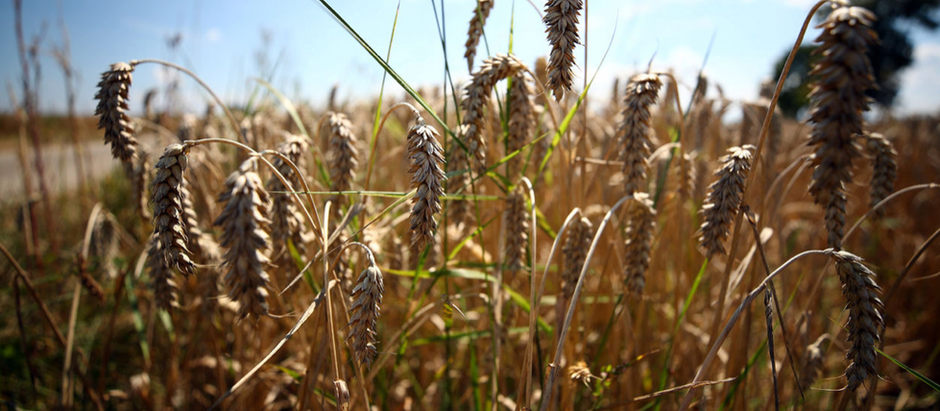 Revealing the wheat genome could lead to hypoallergenic bread