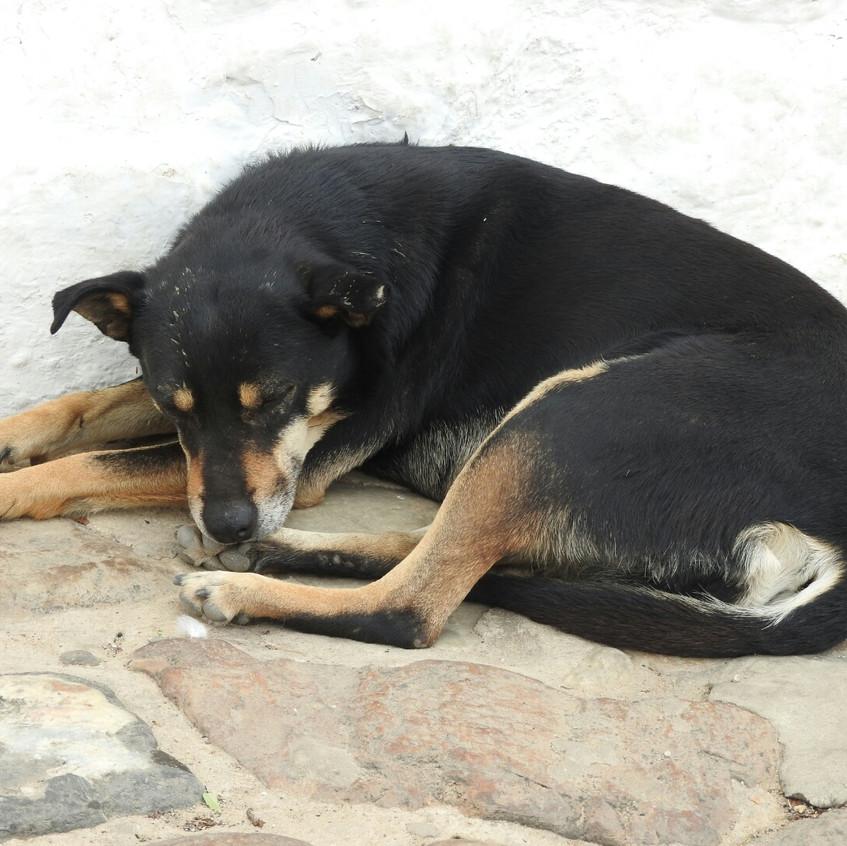 Perros de Villa de Leyva