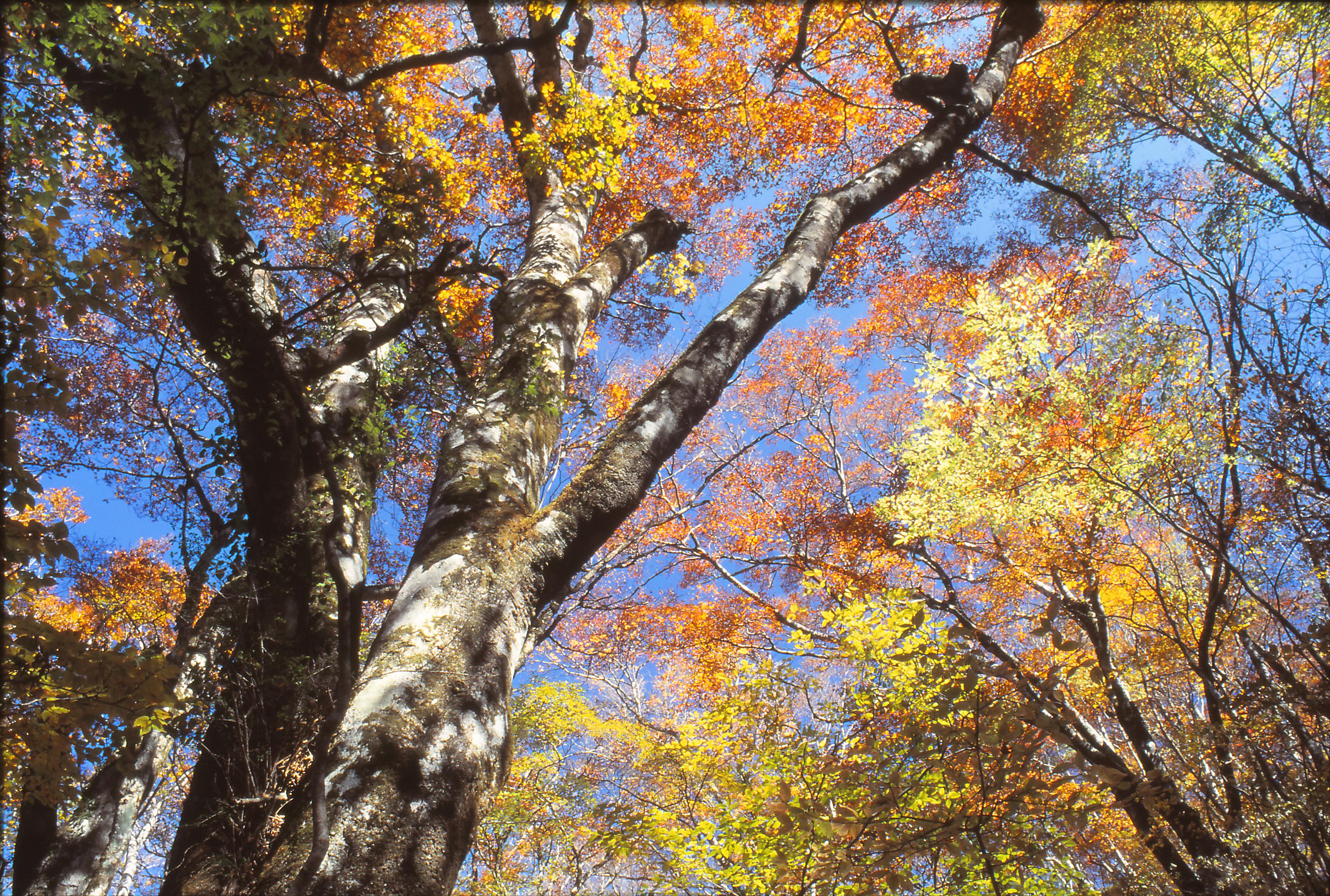 秋・ブナの紅葉